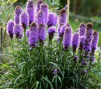 Liatris spicata 'Goblin' is a more useful height for the garden and the vase and can be planted at the front of the border.
