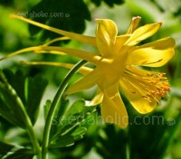 Aquilegia chrysantha 'Golden Queen' has large soft golden-yellow blooms, each with long swept back spurs