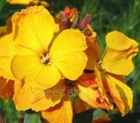 Erysimum cheiri, Cheiranthus cheiri, 'Golden Bedder'