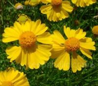 Very adaptable to a variety of soils, including dry conditions, 'Goldfield' is set to bloom all summer and into autumn.