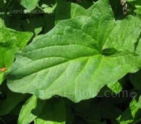 Good King Henry has been used as a vegetable for centuries and was once a common sight in every garden.