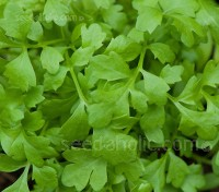 Greek Cress has a more pronounced, sweet nutty flavour with a slightly spicy kick and lingering peppery taste.