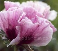 Introduced in 1987, Papaver orientale 'Haremstraum' is a colourful formula mix of the newer hybrids.