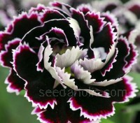 Dianthus 'Heddewigii' has fully double blooms, displaying their lacy white edges and rich, almost black petals to full effect.