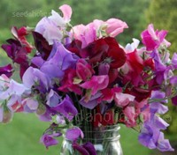 The Heirloom Mixture contains an incredible colour range of the best Grandiflora varieties, they have long stems and make excellent cut flowers.