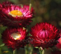 substantial 5cm (2in) wide scarlet red blooms are held atop strong multi-branching bright green stems.