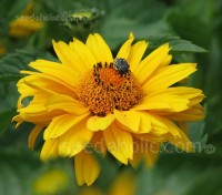 Heliopsis 'Summer Sun' blooms with an extra layer of golden-yellow petals and grows 90 to 100cm (36 to 42in) tall.