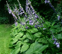 Hosta ventricosa is sturdy and dependable and fills a niche in garden designs that few other plants can achieve.