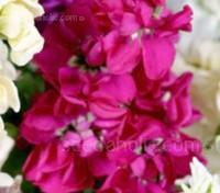 Matthiola 'Cinderella Hot Pink'