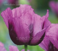 Papaver somniferum 'Hungarian Blue' is a stunning new deep violet poppy.