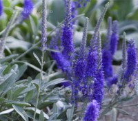 Veronica spicata ssp. incana is an outstanding silver-leaved perennial with a nice compact habit.