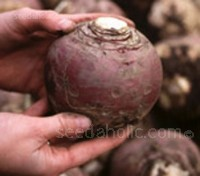 Invitation is a later maturing, Club Root resistant, globe shaped variety.