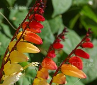 Ipomoea lobata, previously known as Mina lobata is a fast growing climber with an exotic appearance
