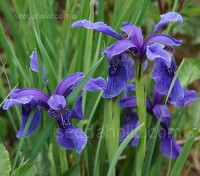Iris bulleyana is a classic species Iris from western China which is entirely hardy and are of great value to the gardener.