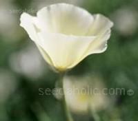 Eschscholzia californica 'Ivory Castle'