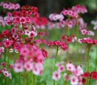 The sight of the Primula japonica in full flower is guaranteed to gladden the heart in late spring