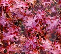 Kale 'Red Ruble' is a red, Russian-type kale that has been specially bred for the salad leaf market.