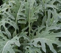 'Jagallo Nero' is a cut leaf form of Cavolo Nero, the more familiar Italian black cabbage.