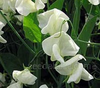 What could be more elegant than a vase of cream-colored Sweet Peas?
