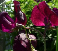 Lathyrus odoratus 'Midnight' is very special variety of sweet pea, seed of which is seldom available.