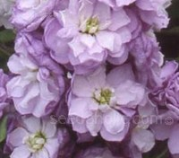 Matthiola incana, Lilac-Lavender'