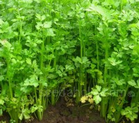 Leaf Celery was used centuries ago in Europe and the Orient, where its ancestor was known as 'smallage'.