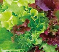 This classic mix of lettuce varieties can be used for both baby leaf or for growing to maturity.