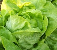 'Wintercrop' is a tasty butterhead type lettuce with large, tight hearts.