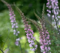Linaria 'Canon J Went' is a delightful plant with tall spikes of pink and mauve tiny flowers that resemble miniature snapdragons