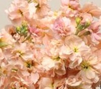 Matthiola 'Cinderella' is available in a series of modern colours including Champagne.
