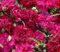 Dianthus caryophyllus 'Chabaud Magenta'