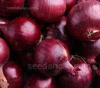 Onion 'Magnate F1'