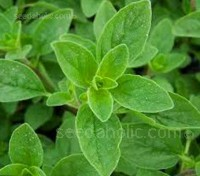 Fresh marjoram leaves smell a little like basil while in flavour they are rather like thyme, but sweeter and more scented.