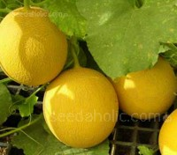 Melon Galia is an F1 variety. It has been specially bred for maximum vigour and uniform growth and performs reliably despite cooler summers.