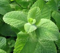 Mint, Mentha rotundifolia, 'Egyptian Mint'