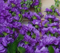 Matthiola incana 'Miracle Mid Blue'