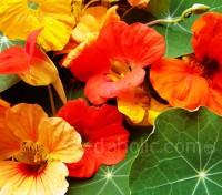 Nasturtium 'Gleam Hybrids' has all the shades you expect, primrose, gold, orange, red and mahogany.