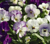 'Sorbet Mix' is an attractive mixture and some of the most amazing colour selections you'll ever see.