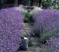 Munstead Lavender is named from Munstead Woods, the home of famous garden designer Gertrude Jekyll.