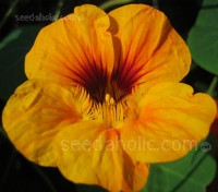 "Nasturtium ""Jewel of Africa"" is a gorgeous variety. This mix from the series, gives blooms in Mahogany, Rose, Gold, Peach and Primrose."