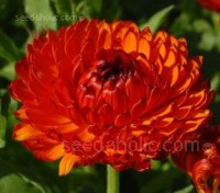 Calendula officinalis 'Neon' glow with deep orange petals each with bronze tips.