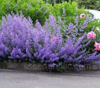 Nepeta faassenii is a dwarf catmint with slender spikes of lavender-blue summer flowers.