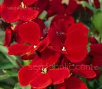 Erysimum cheiri, Cheiranthus cheiri,  'Scarlet Bedder'