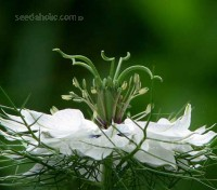 Nigella damascena is one of the most interesting shaped flowers you will ever see.