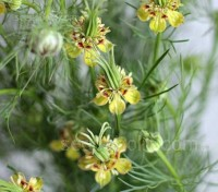 Nigella 'Transformer' adds intriguing texture with its uniquely shaped flowers and upright, seed pods.