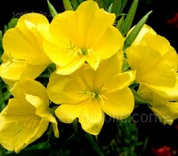 Known as Evening Primrose, in early summer the sweetly scented, bright yellow flowers open towards evening