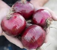 Onion 'Red Tide F1' Organic