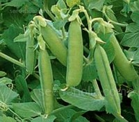 "Plump and delicious Pea ""Rondo"" is a high quality double podded variety with dark green straight, long pods"