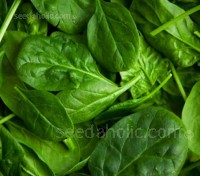 Spinach 'F1 Palco' is an established favourite it grows slowly, is high yielding and slow to bolt and is therefore very suitable for summer cultivation.