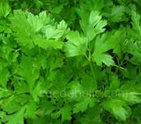 Parsley, Flat Leaf  'Italian Giant' Organic